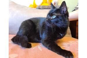 Кот черный, молодой красавец