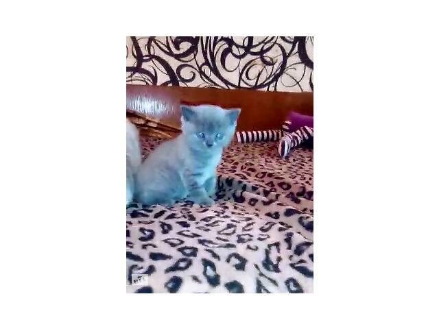 продам Маленькие британские котята бу в Николаеве