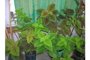 Калеус разноцветный для дома и сада