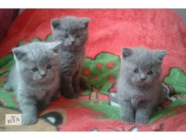 Кошки, коты, котята- объявление о продаже  в Залещиках