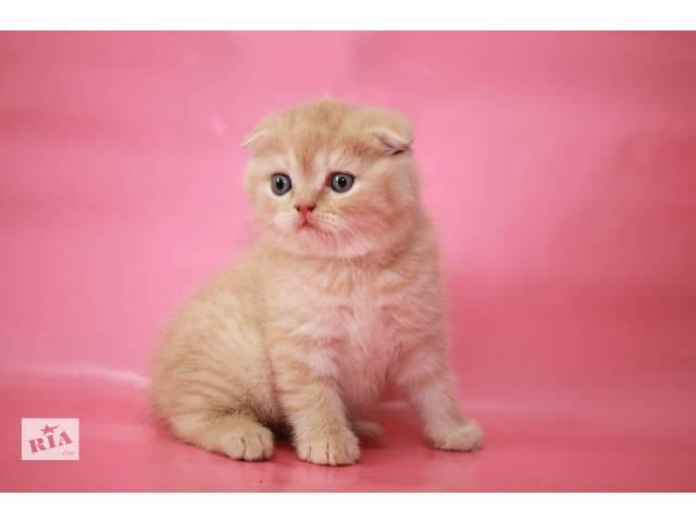 Клубный красивущий вислоухий котенок-котик Alan - объявление о продаже  в Киеве