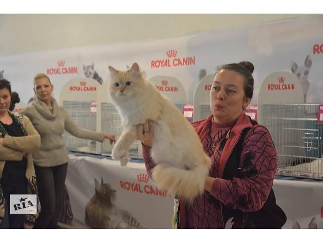 купить бу Котята с гипоаллергенной шерстью в Ивано-Франковске