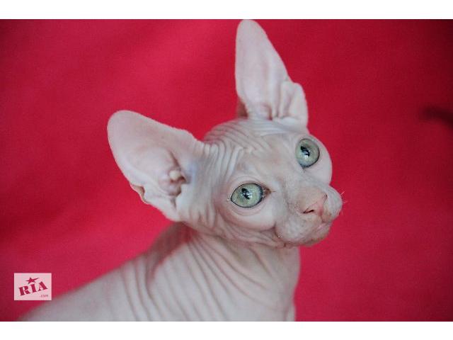 купить бу Красивые котята для элитных домов в Киеве