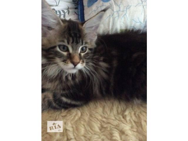 продам Продам котят Мейн-кун бу в Полтаве