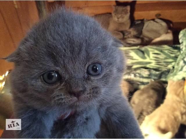 бу Красивые шотландские котята в Ужгороде