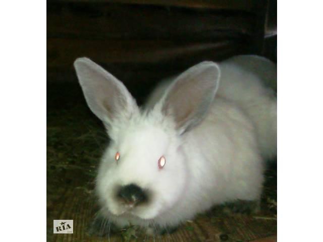Кролики калифорнийские- объявление о продаже  в Малине (Житомирской обл.)
