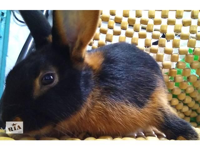бу Кролики черные черно - огненные в Киеве