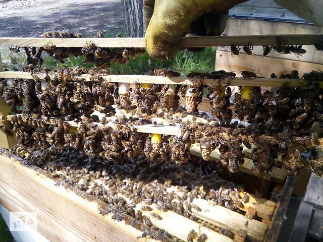 продам Матки Карпатка 2019 Пчеломатки Пчелинные Матки Бджоломатки бу в Запорожье