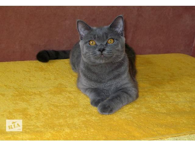 продам Мечты сбываются! Шикарный британский котик-подросток готов к переезду. бу в Киеве