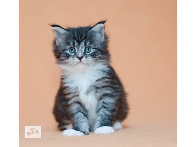 Шикарный котенок породы мейн -кун. - объявление о продаже  в Киеве