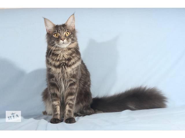 Мейн-куны котята (голубой мрамор) из питомника- объявление о продаже  в Киеве