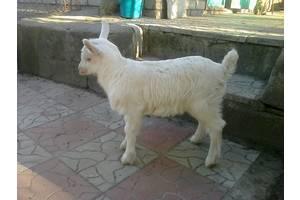 Козы, козлята