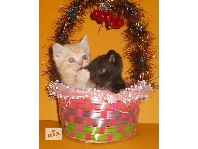 Открыто резервирование на чистокровных британских котят!- объявление о продаже  в Львове