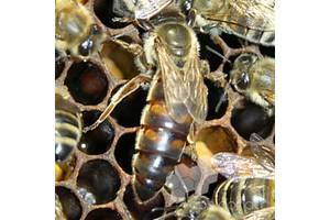 Пчеломатки карника