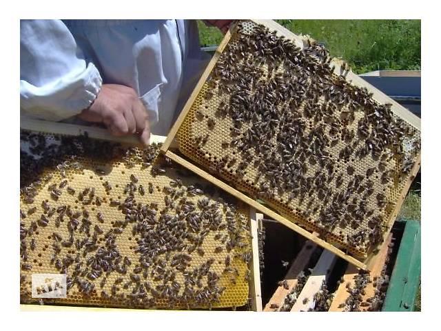 Пчелопакеты Карника- объявление о продаже  в Славуте