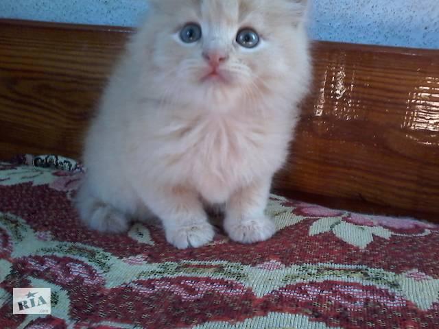 Персидские котята- объявление о продаже  в Тернополе