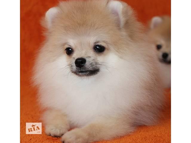 Pomeranian For sale .- объявление о продаже  в Киеве