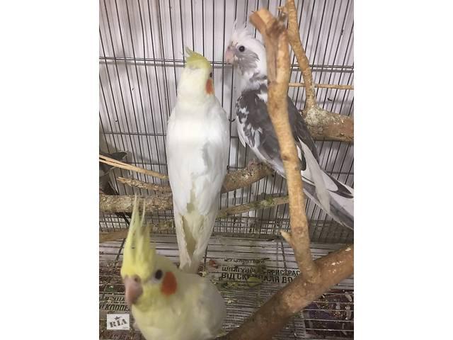 Попугай корелла с щечками- объявление о продаже  в Киеве