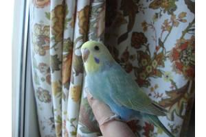 Попугаи - Продам Радужных ручных малышей .