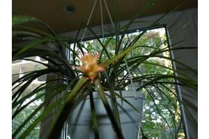 Бромелиевые цветы