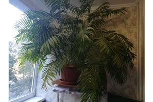 Пальмы комнатные