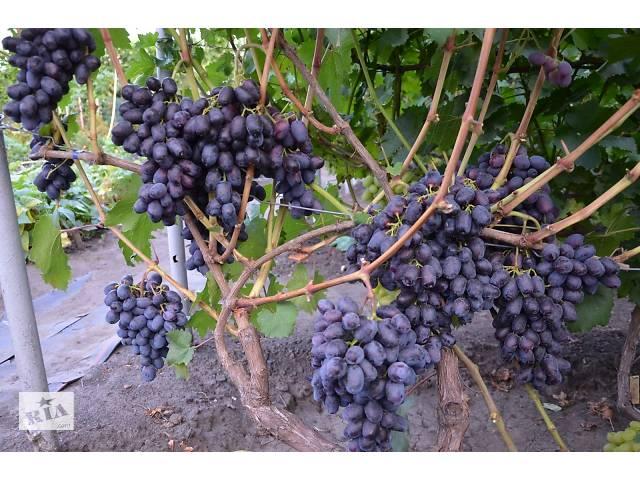 Саженцы винограда Лорано- объявление о продаже  в Новой Каховке