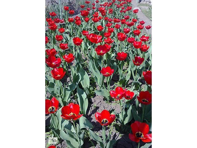 купить бу Луковицы тюльпанов красные ранние Парад в Марганце