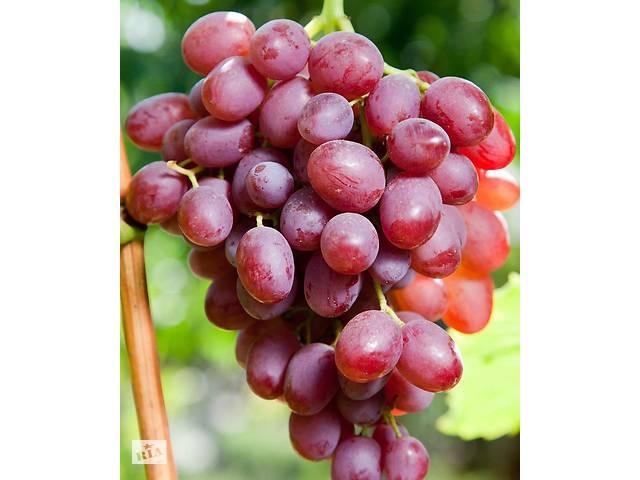 Саженцы винограда Ливия- объявление о продаже  в Новой Каховке
