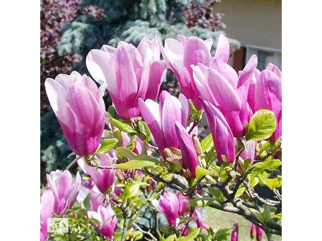 Распродажа! Садовые растения , домашнего качества!!- объявление о продаже  в Одессе