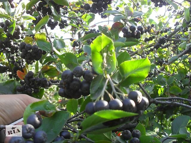 саженцы черноплодной рябины- объявление о продаже  в Днепре (Днепропетровск)