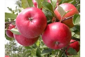Саджанці яблуні