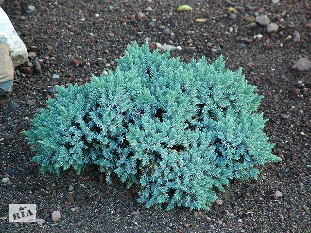 купить бу Ялівець лускатий Блю Стар - Juniperus squamata Blue Star в Гнездычеве