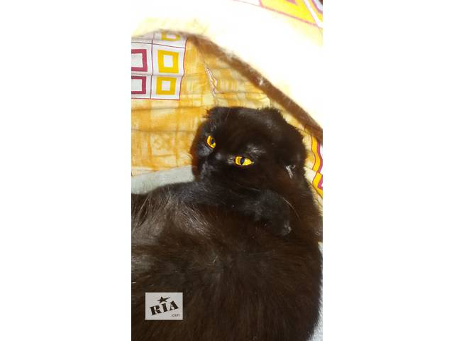купить бу продам котяток    британцы короткошерстные вислоушки в Днепре (Днепропетровск)