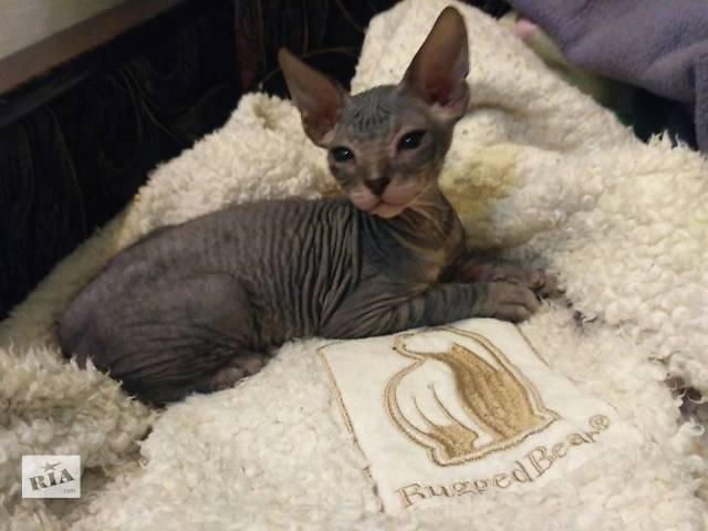 Продам котика донского сфинкса- объявление о продаже  в Львове