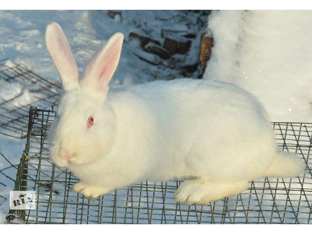 Продам кролики бройлерной породы термонська- объявление о продаже  в Новом Роздоле