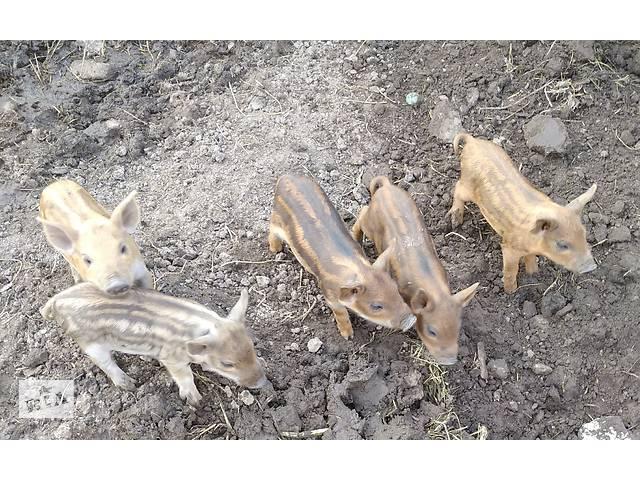 купить бу Продам поросят венгерской мангалицы в Дніпрі (Дніпропетровськ)