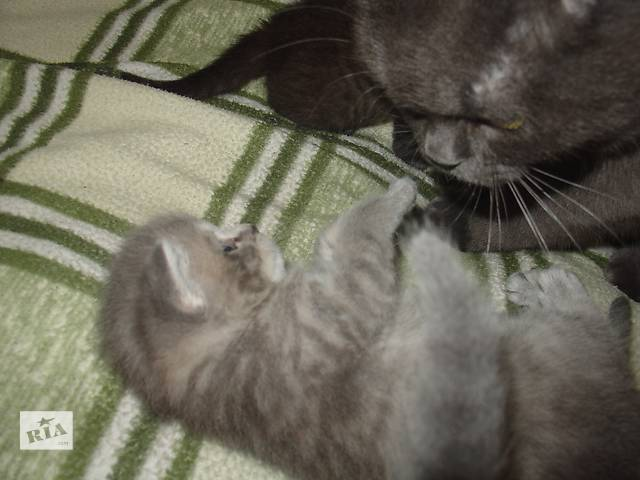 купить бу Продам(резервируем). котят в Черкассах