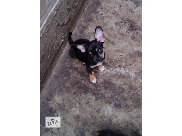 купить бу Продам щенка чихуахуа в Кропивницком (Кировоград)