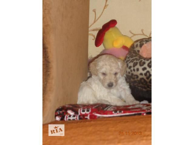 купить бу Продам щенка карликового пуделя в Сумах