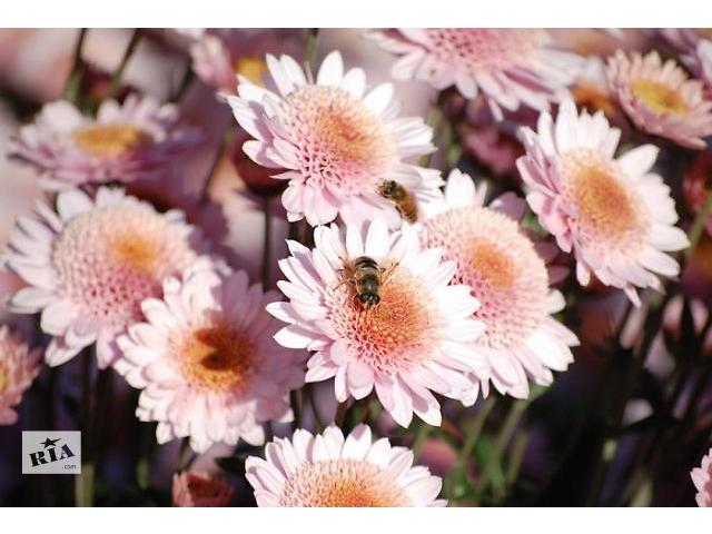 купить бу Продаж черешка хризантем на сезон 2017 в Дніпрі (Дніпропетровськ)