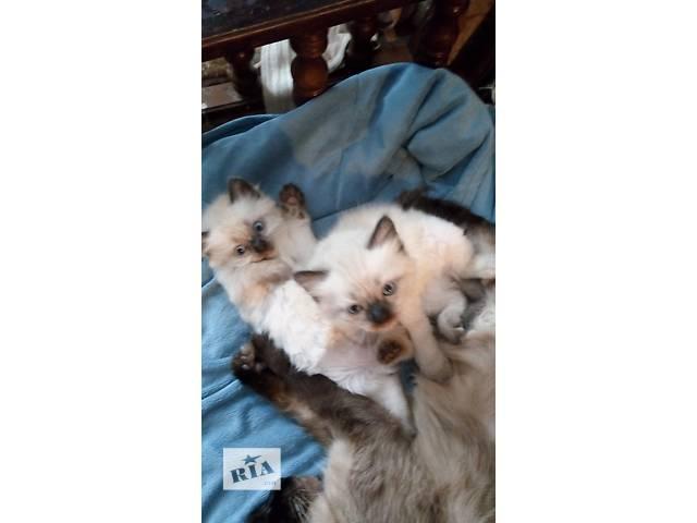 продажа котят породы рэгдолл- объявление о продаже  в Киеве