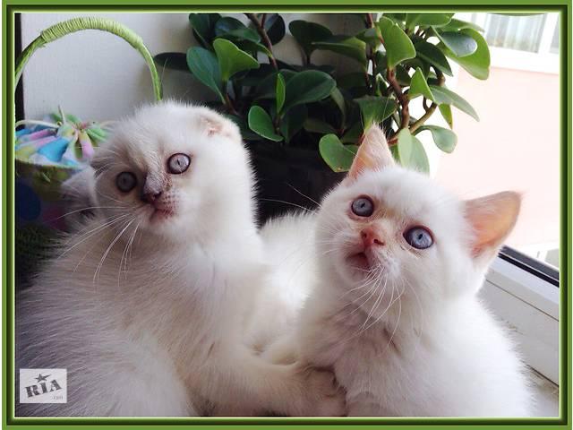 продажа шотландских котят- объявление о продаже  в Ивано-Франковске