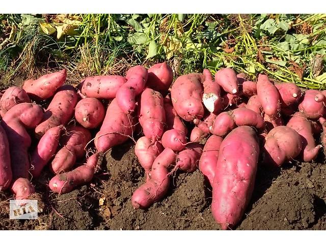 продам Батат Винницкий розовый клубни для еды и посадки дешево 89 грн бу в Чернигове