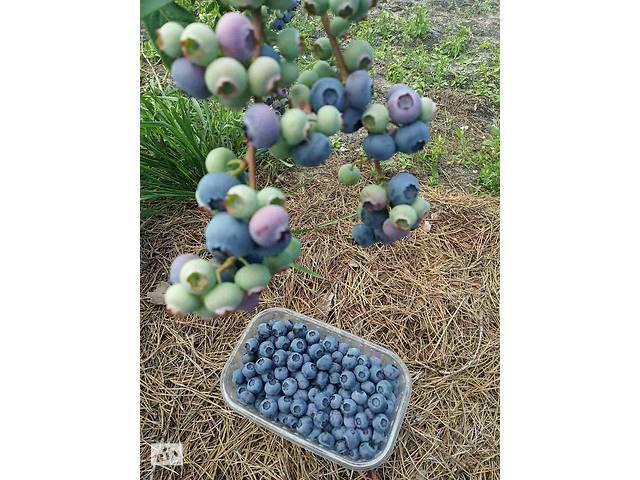 Голубика (лохина). Урожай 2020- объявление о продаже  в Одессе
