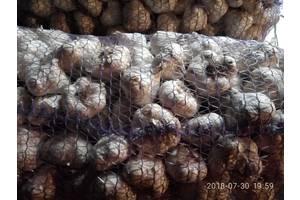 посевной материал озимого чеснока