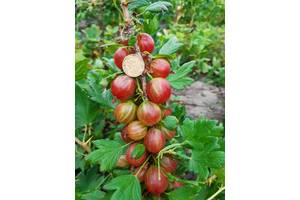 Продаю плоди агрусу, порічок та смородини