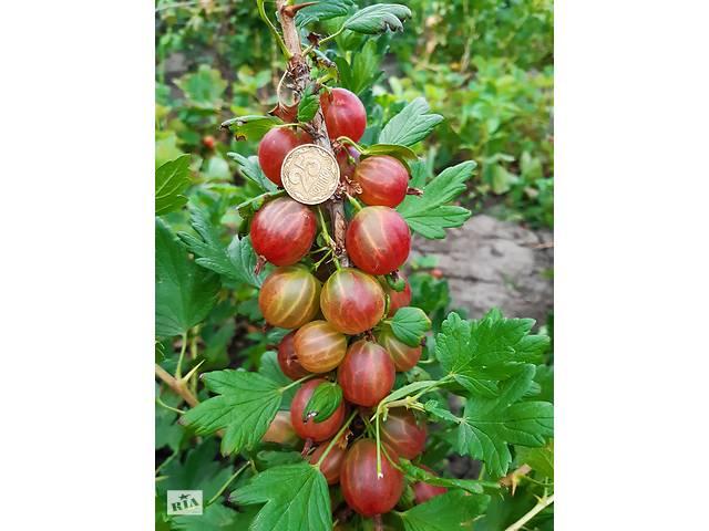 купить бу Продаю плоды крыжовника, смородины и смородины в Городенке