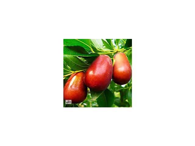 Свежие плоды унаби - зизифус