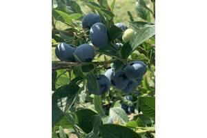 Обрізка плодових кущів, сезонна робота