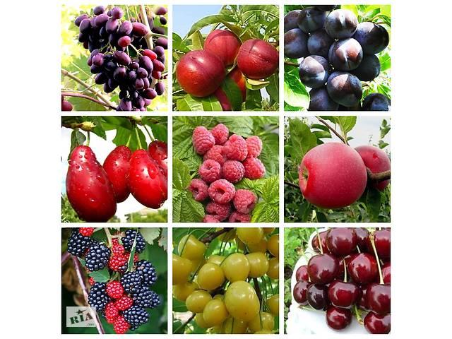 Саджанці поштою. Великий вибір! Артемівський розплідник. Яблуні,груші, персика, сливи,вишні,малина,горіхи,троянди.І Т. Д- объявление о продаже  в Бахмуті (Артемівськ)